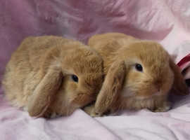 2 mini lop does