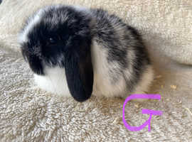 Beautiful pure bred mini lop doe available