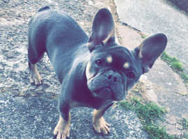 6 month old male french bulldog