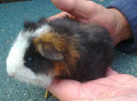 Lovely Baby Tri Coloured Teddy Male Guinea Pig 8 Weeks Old