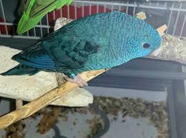 Blue Parakeet parrot for sale