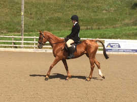 14.1 Mare For Sale - Good Winter Project