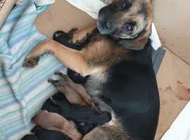 Beautiful Puggle Puppies