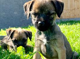 Border terrier babies