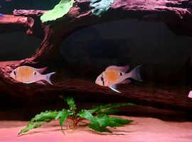 Biotodoma cupido cichlids