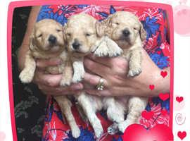 Beautiful KC reg Toy poodle puppies