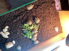 Herman's tortoises