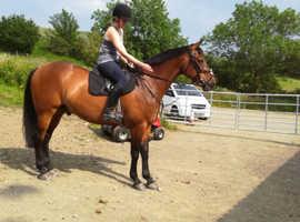lovely big Irish sport horse
