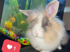 Female Lion head rabbit for sale