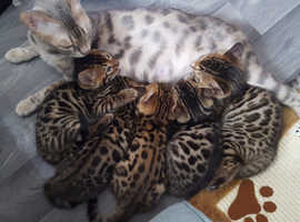 Bengal Kittens GCCF Registered