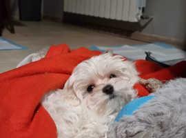 Maltese girl