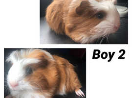 8 week old male guinea pigs - £20 each or £30 for both