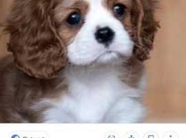 looking for a cavalier king charles spaniel pup