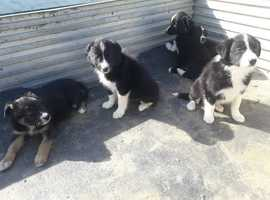 Collie pups 3 female 2 male