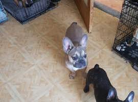 French bull.dog x2
