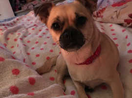 WANTED female chihuahua