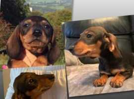 Adorable Dachshund Boy Puppy ! ***Price Dropped***