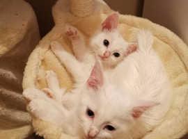 Beautiful kittens ragdoll x khao manee