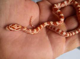 Corn snake babies morphs