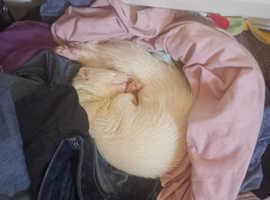 White Albino Ferret Lost DN31