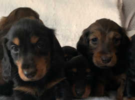 Standard Long Haired Dachshunds for sale