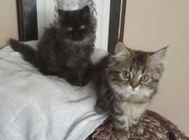 Persian x himalayan kittens ready to go 12wks