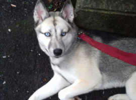 Puppy 7months old siberian husky