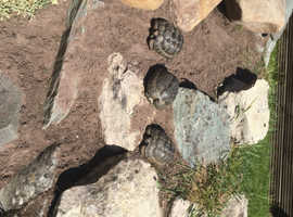Spur thighed tortoises for sale