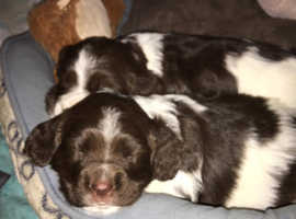 Sprocker pup for sale (girl)