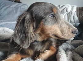 7 month old blue and tan mini dachshund pup