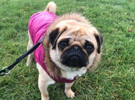 Adult apricot pug for sale pde clear