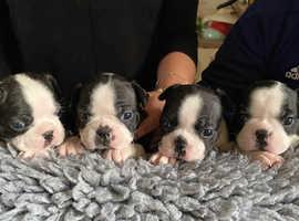Girl Boston pups
