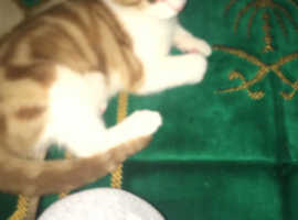 11 weeks old kitten for sale