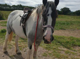 Stunning blue & white cob mare!