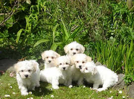 Beautiful Bichon Frise Puppies