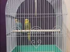 Pair Of Baby Budgies with BRAND NEW Cage