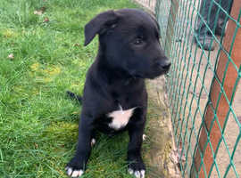 Gorgeous Border Collie x Huntaway puppies
