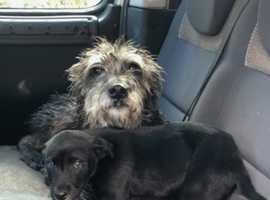 Beddy greyhound pup