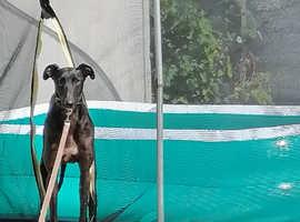 Collie greyhound