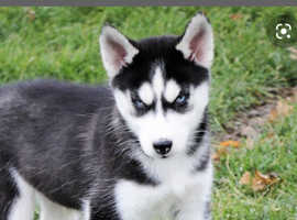 Wanted siberian husky puppy