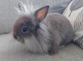 Mini lionhead Male bunny