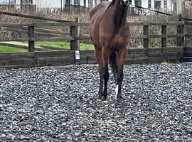 Sweet 4 year old TB mare