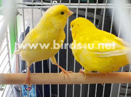 Canaries for sale,15