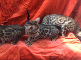 Pedigree bengal kittens girls tica reg