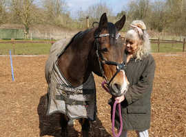 14.2 pony for sale
