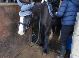 "Awesome little cob gelding 12""2/3, still bum high"