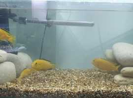 Cichlids For Sale & Rehome in Birmingham   Find Fish For