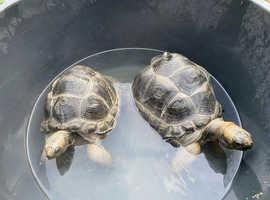 Tortoise (Aldabra)