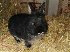 Pure bred Netherland Dwarf rabbits
