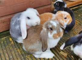 NOW 2 LEFT Baby Giant French lop rabbits